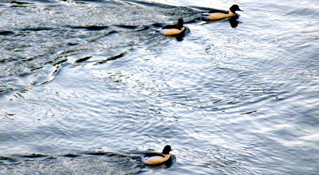 Änderna i Hammarbykanalen lever med och utan vinterkänsla. Ingen is men ändå några minusgrader