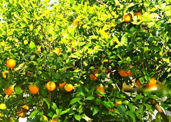 Apelsin - Ett kinesiskt äpple som är ett bär - Ditte Akker 2f7f41c3f51f5