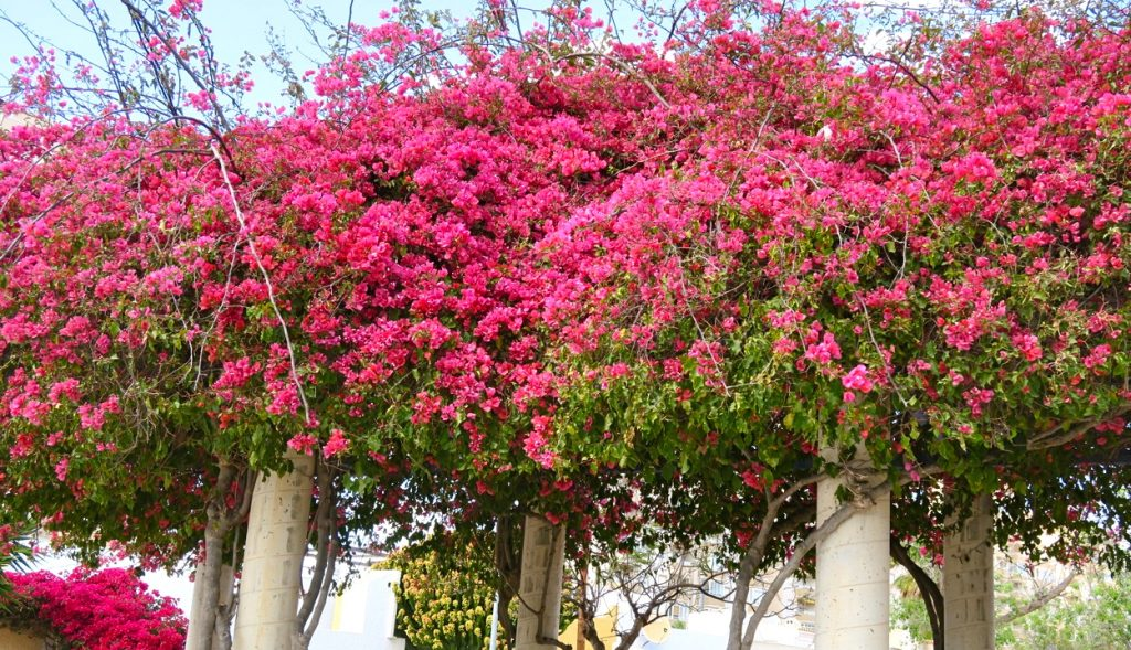 Bougainvillean blommar nu vackert i Torrevieja och bidrar till trevligheterna som man kan uppleva här.