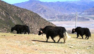 Jaken är ett verkligt hårigt djur. Här i Tibet.