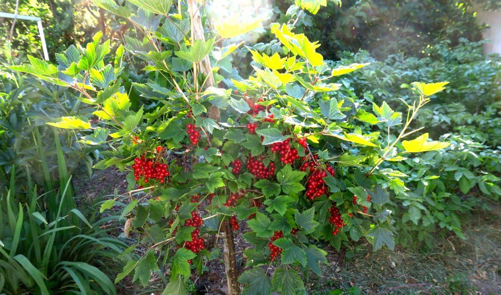 Sommardagar innebär också att bär och frukt mognar och kan skördas.