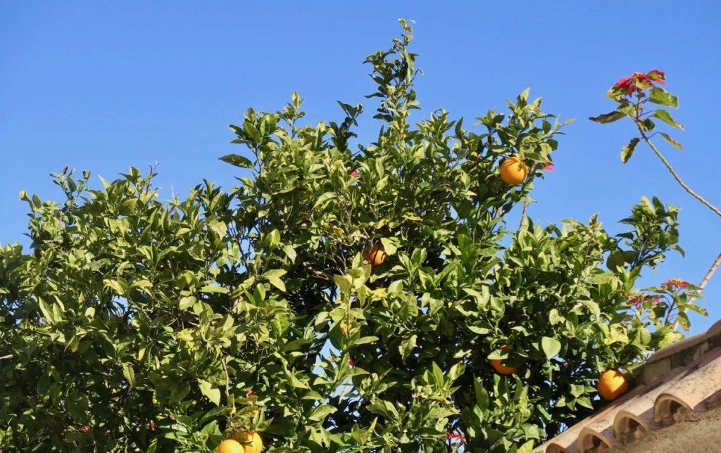 Gårdagens eftermiddag här hos oss i Torrevieja. Och grannens apelsiner 69f39ce4f61ef