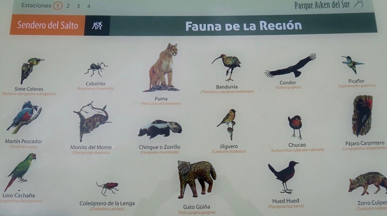 Patagonien bjuder på ett rikt djurliv. Här i parken Aiken del Sur, Chacabuco.
