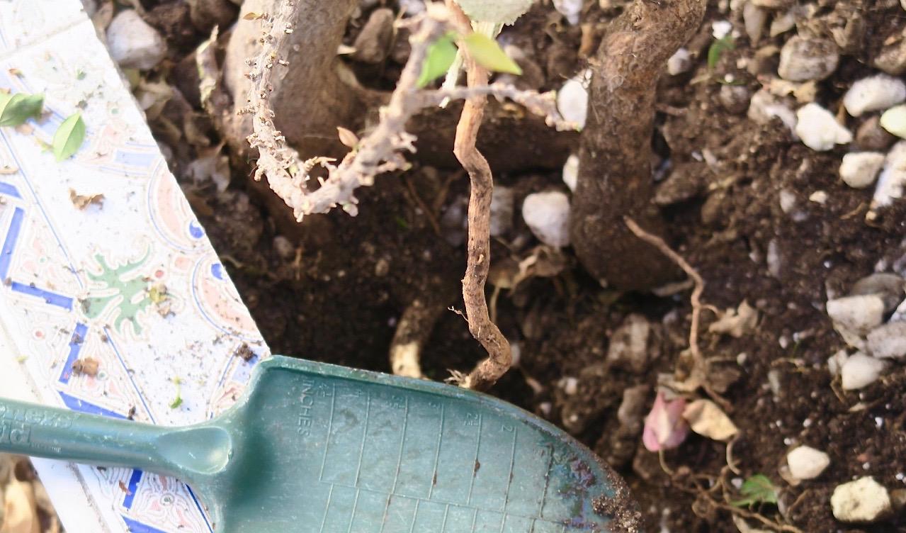 Att få bort den krassliga bougainvillean var ett verkligt jordnära jobb. Särskilt utan stor spade.