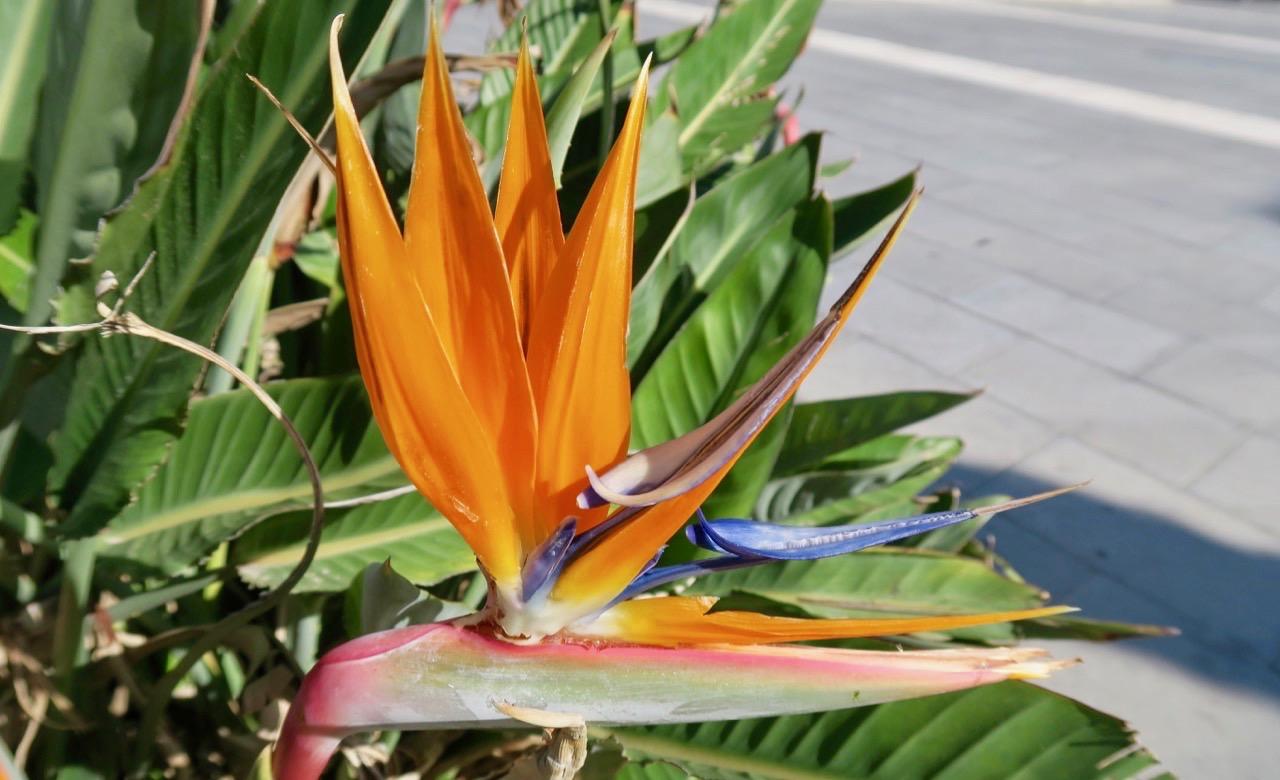 Papegojblomman är vecker och har både blad och blomma i en vass form.
