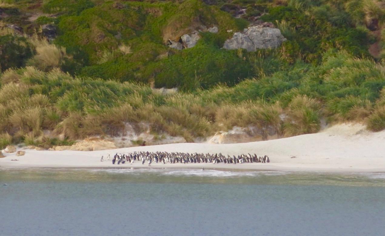 """Falklandsöarna möter oss med pingviver. Här """"åsnepingviner"""" som det finns gott om. DEt engelska namnet är gentoopingviner."""