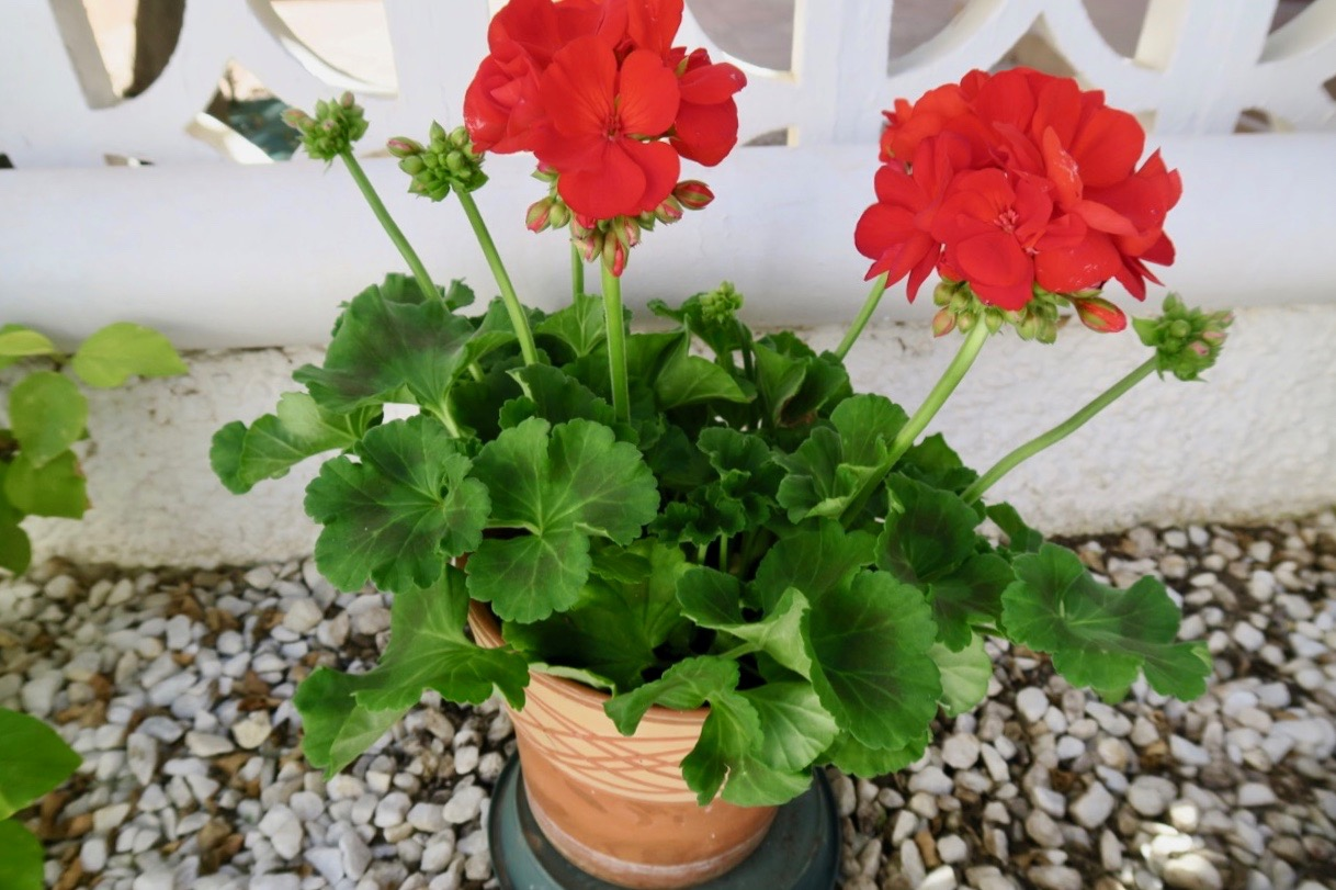 Många nya knoppar har växt ut även på den fina röda pelargonen.