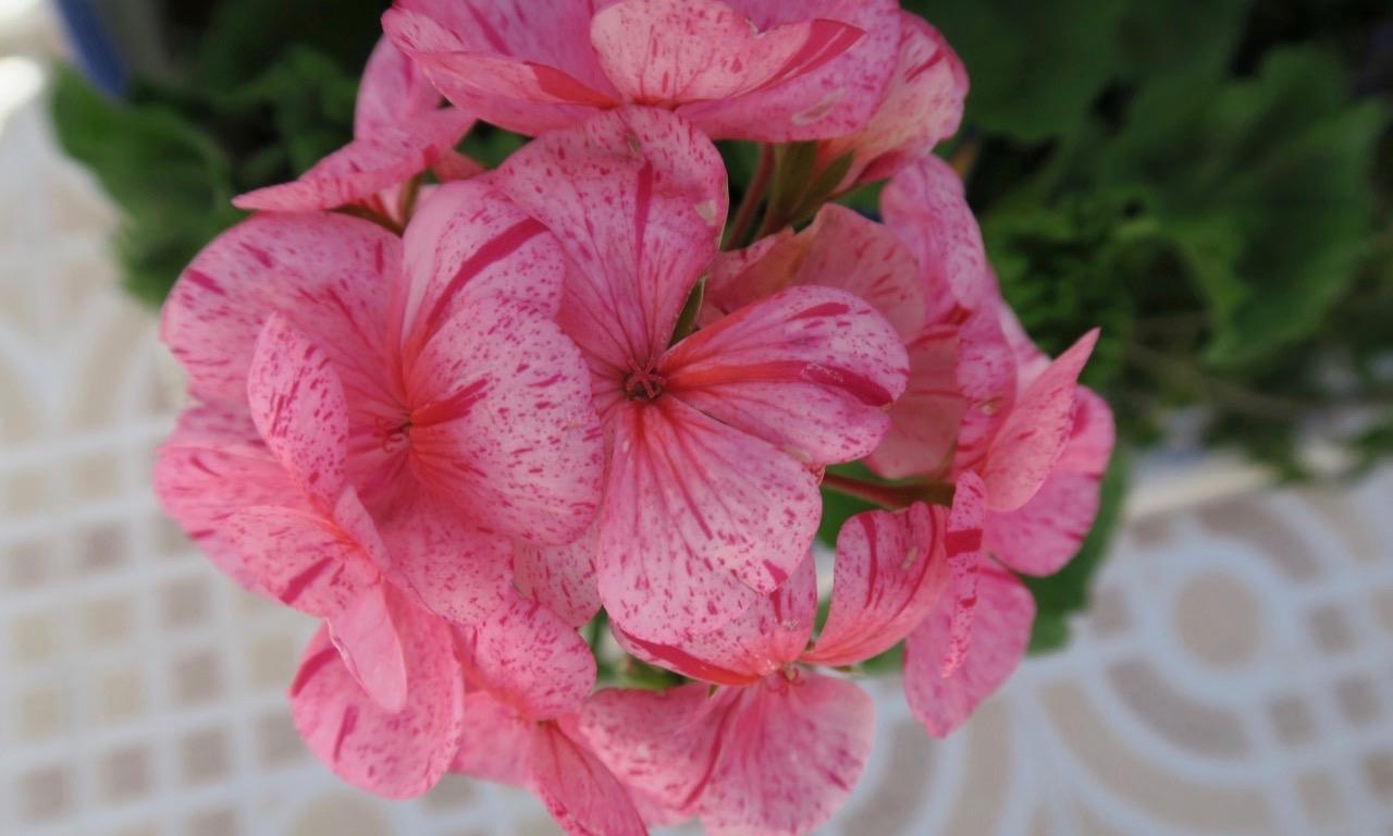 Vår rosa pelargon. En växt som verkligen frodats under att regnande i påsk.