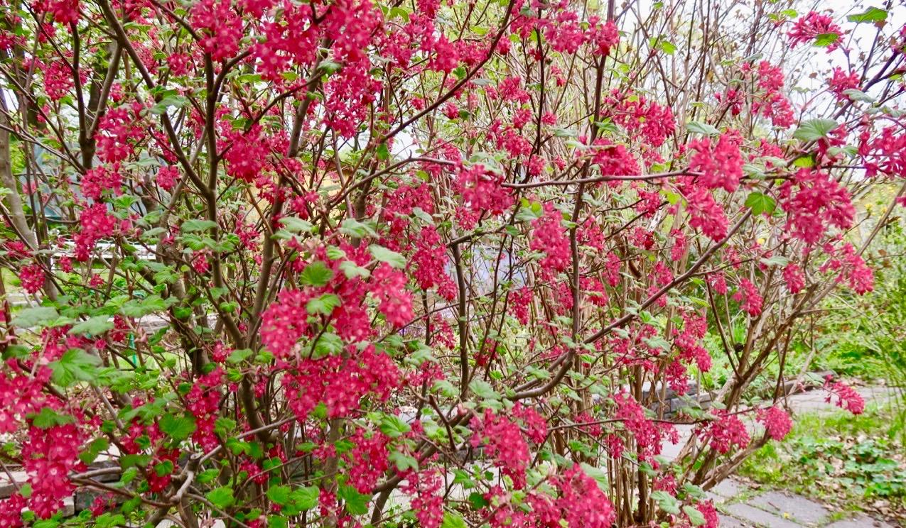 Grönskande buske vid Årstaviken. Men vad heter den?