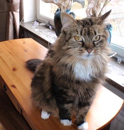 Tiffany, en vacker skogskatt har en mjuk päls.