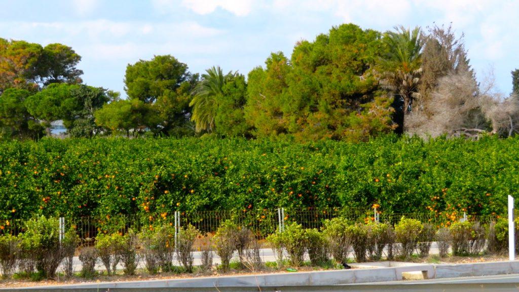 Apelsinodlingar såg vi många under denna busspromenad. Inte direkt ekologiska apelsiner som växer så nära motorvägen...