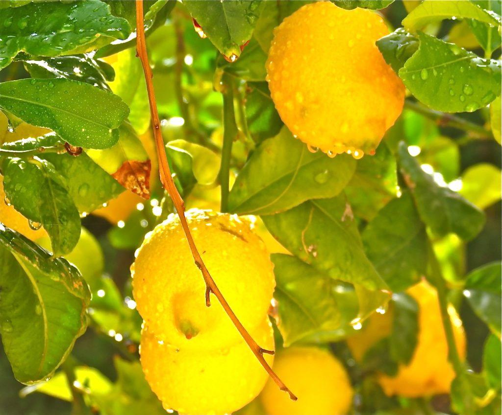 Citroner räknas också till bär