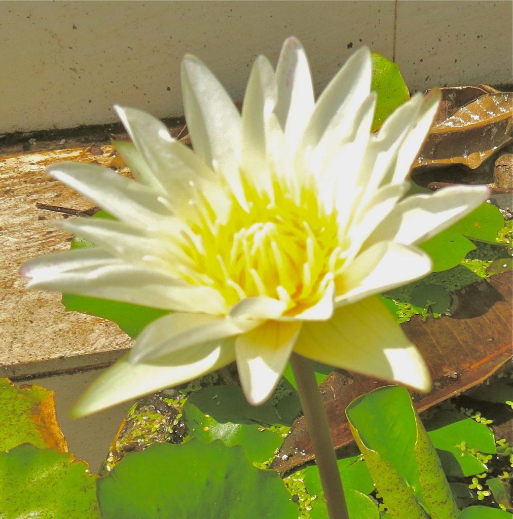 En vit thailändsk lotusblomma