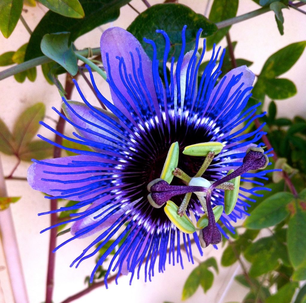 Passionsblomma i blomning