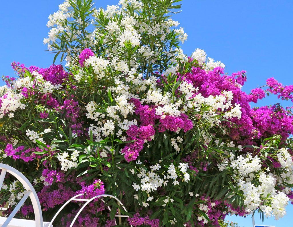 Bouganvillea i blomning