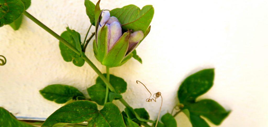 Viss planering kan underlätta om man ska träna sig i att följa en blommas utveckling.