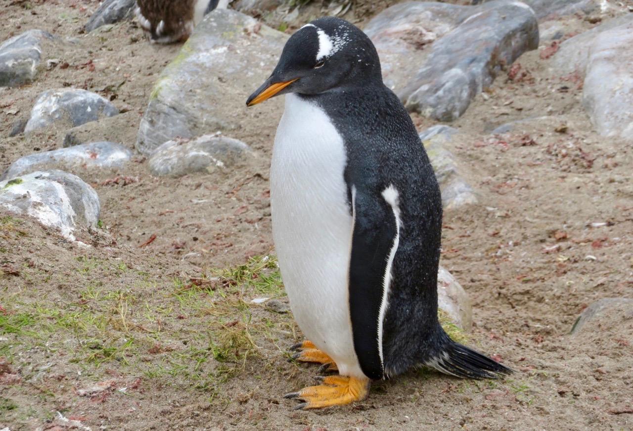Gott om pingviner var det. Här en gentoo pingvin eller på svenska åsnepingvin.