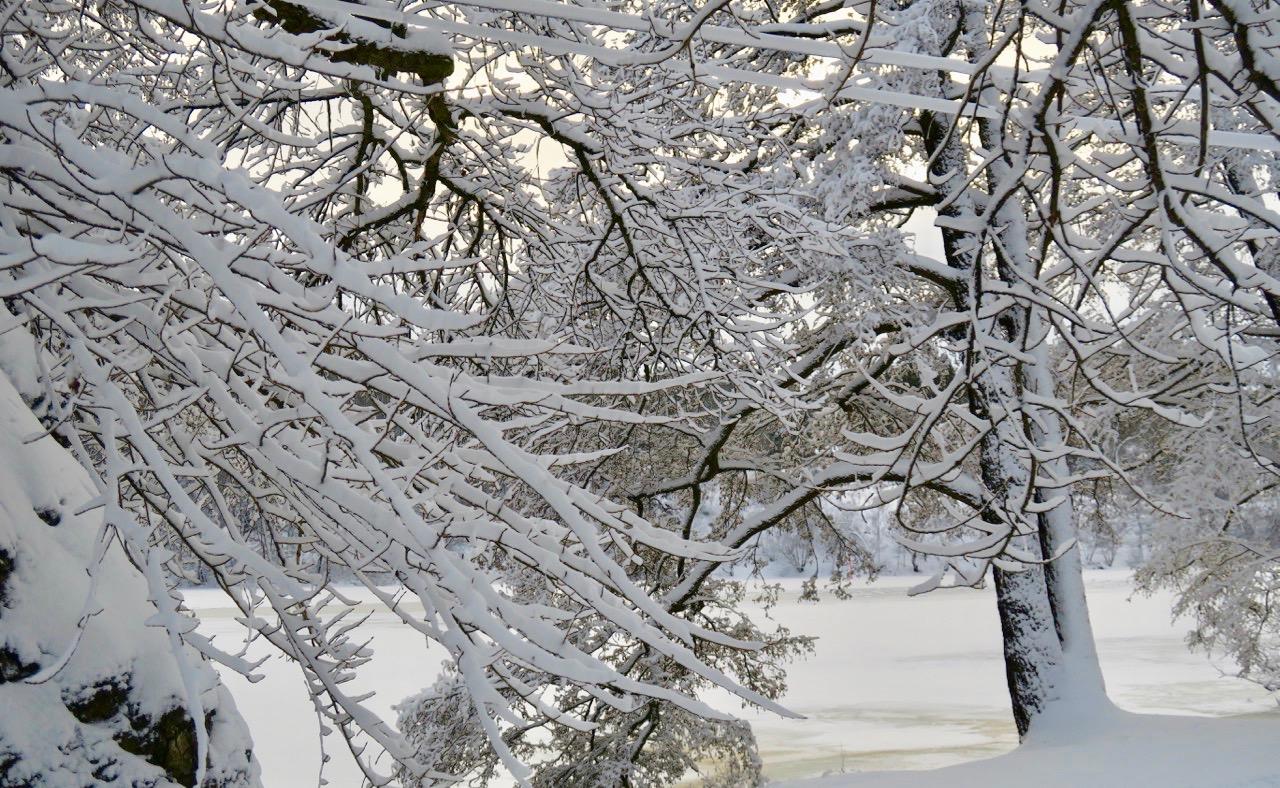 Snön ligger vackert i centimetertjocka lager på trädgrenarna. Hur kan den hålla sig kvar?