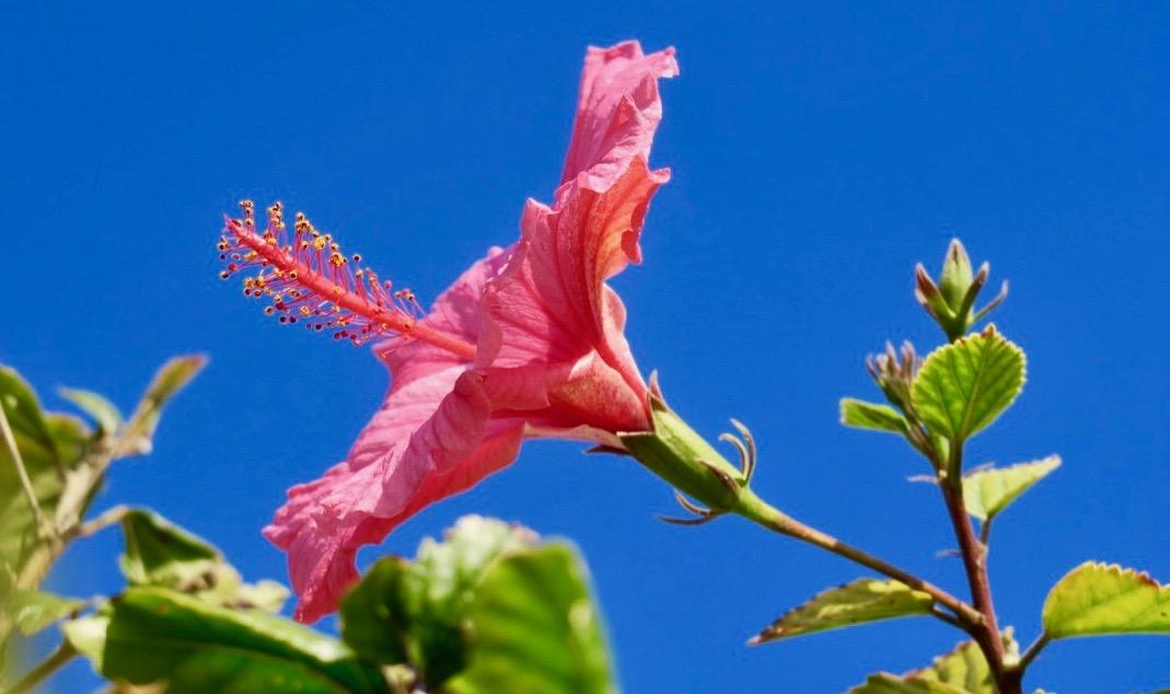 Grannens hibiscus hälsade, vinkade och gratulerade på min födelsedag.