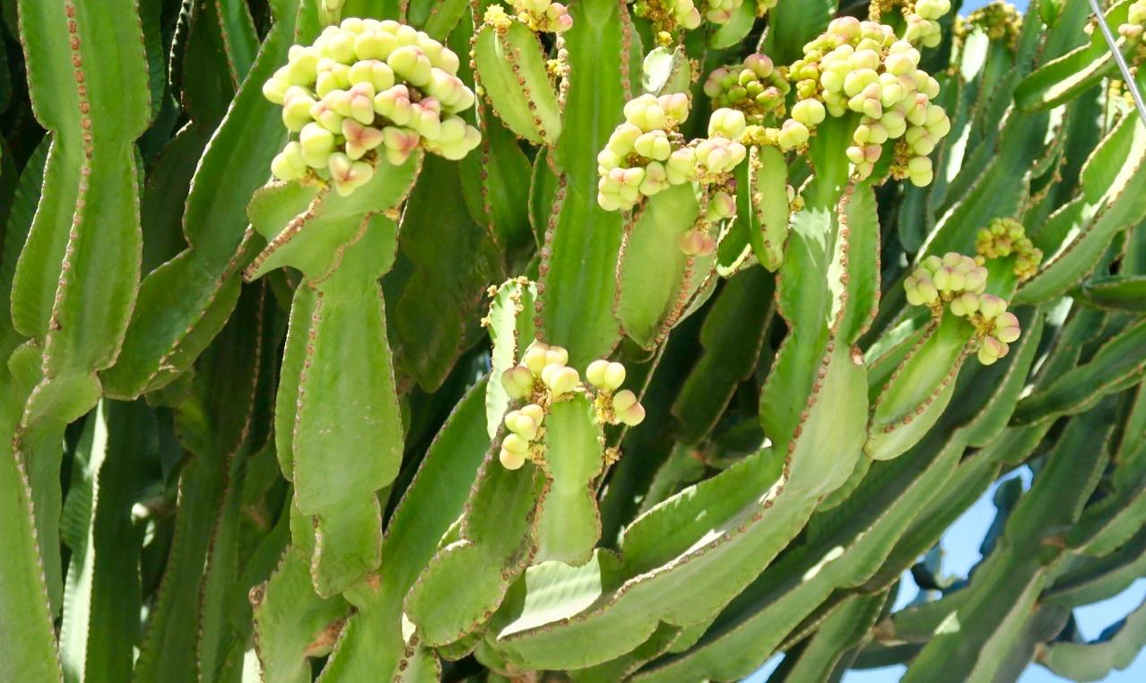 """Euphorbia eller """"High Chapparal"""" som växten också kallas har vassa taggar."""