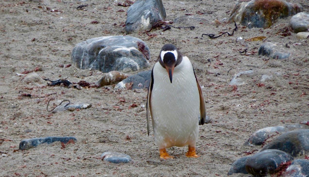 Kanske har den här pingvinen vi såg på Falklandsöarna en skum tanke.