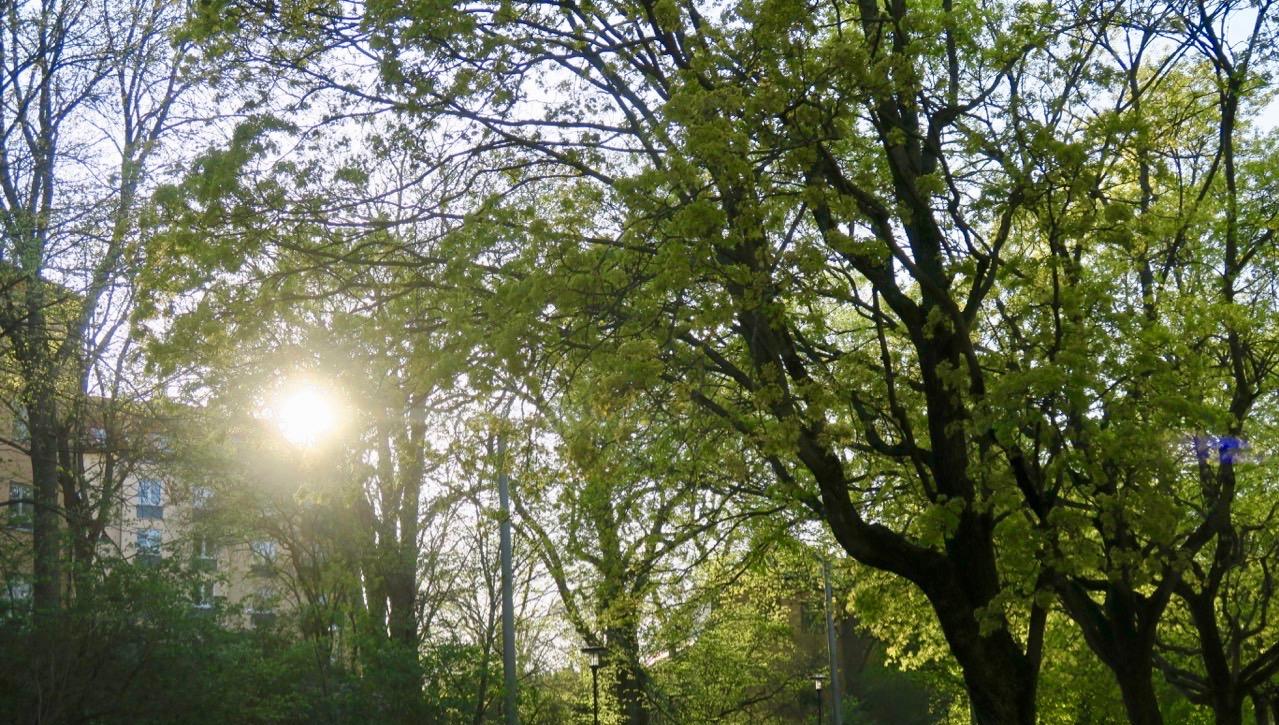 En strålande afton blev det på flera sätt. Här är det solen som strålar fint i allén på Renstjärnas gata på Söder.