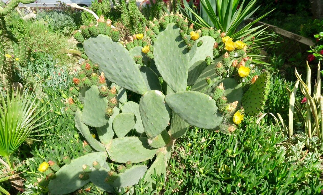 En kantig kaktus växer mitt bland de övriga mindre taggiga växterna