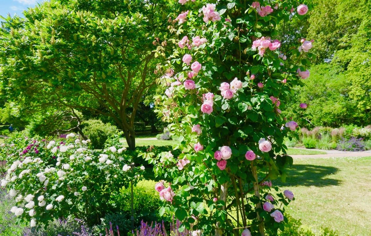Mängder av rosor finns i botaniska trädgården. Visby är ju rosornas stad.