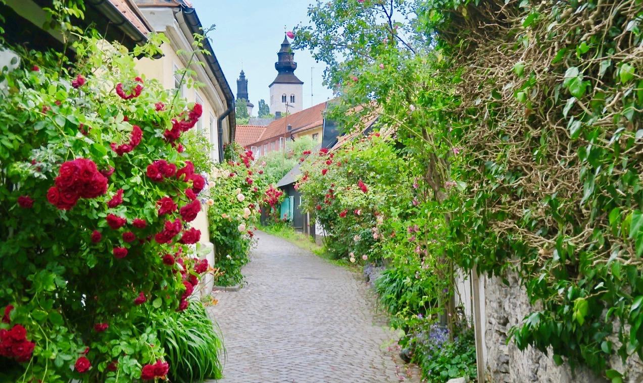 Vackra rosor slingrar sig längs husväggarna i de smala gränderna i Visby.