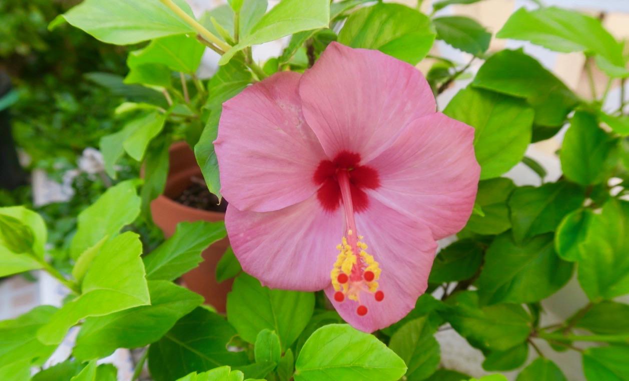 TRots att det varit varmt och torrt under sommaren så trivs hubiskusen fint i sin rabatt. En tålig växt!