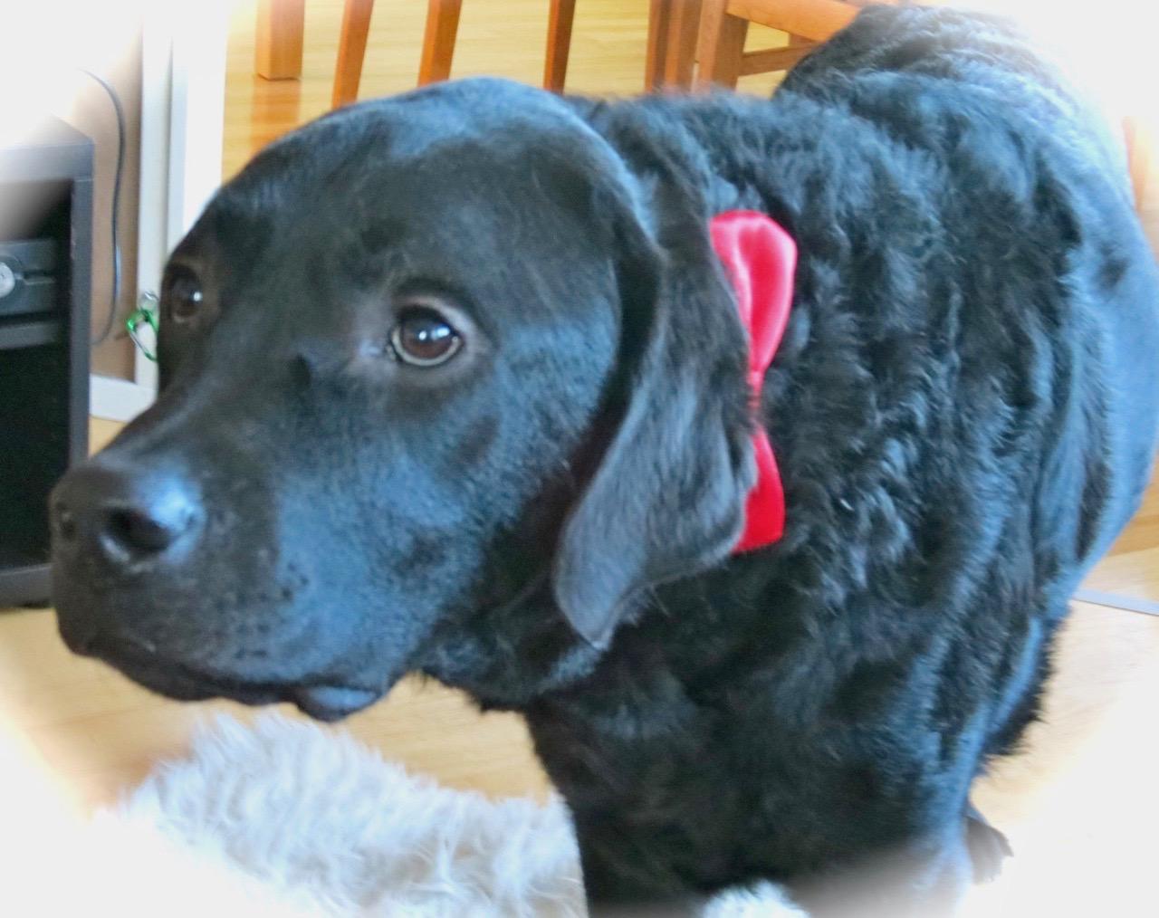 På Curre labrador är det både ögon och päls som är len.