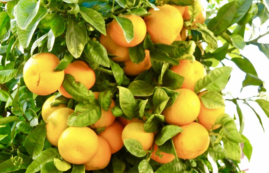 """En apelsin- ett """"kinesiskt äpple"""" kvalar in i kategorin orange. Kanske med nyansen apelsinfärgad."""