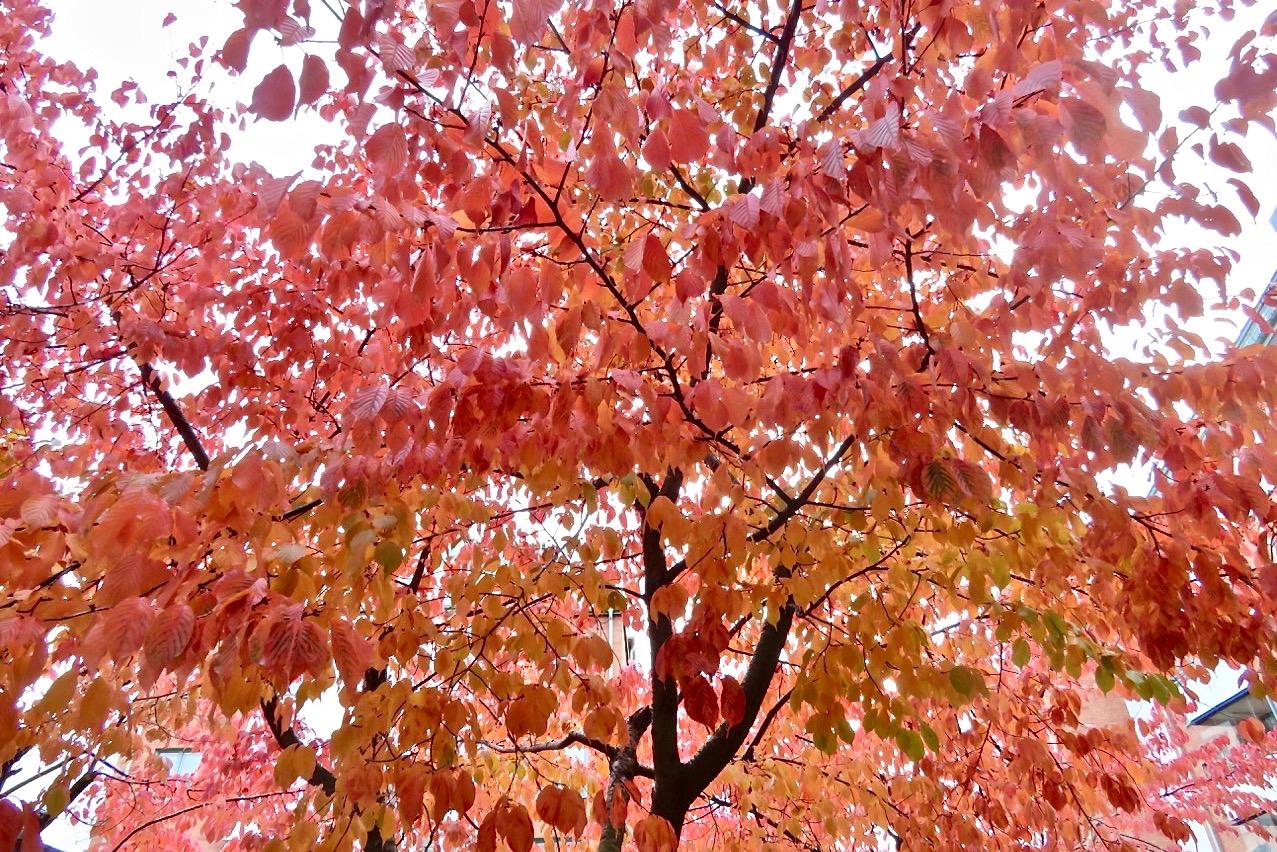 Träden är nu ett färgsprakande bevis på att det är höst.