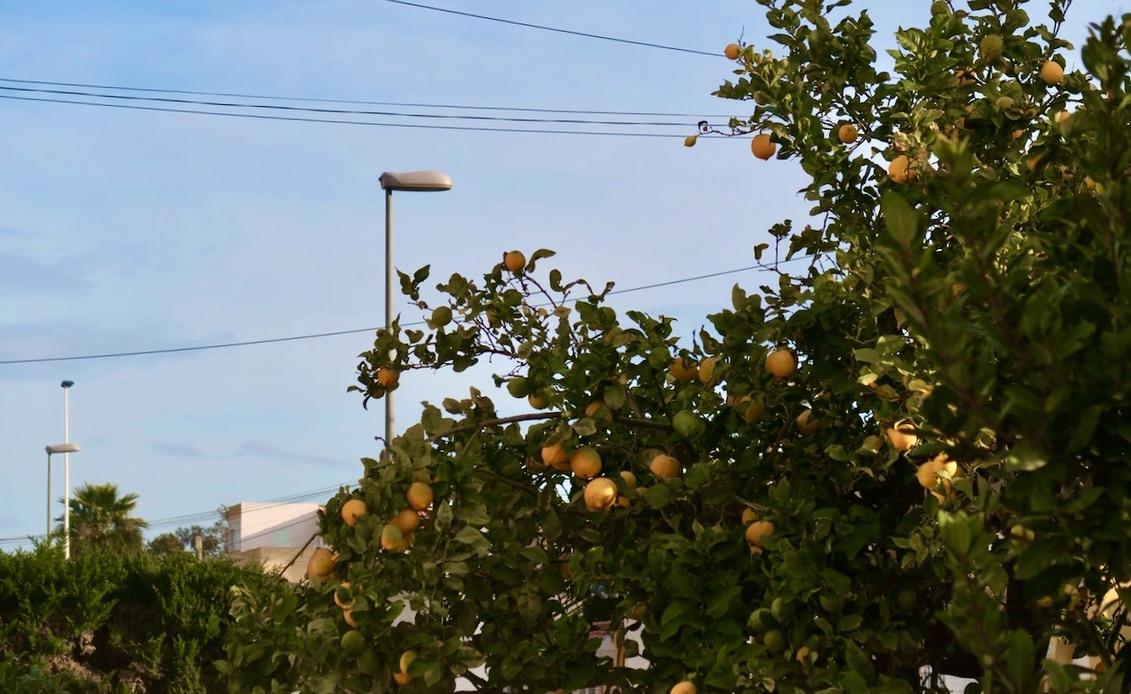 En av veckans händelser, i positiv bemärkelse. Ett välfylllt apelsinträd hos grannen.