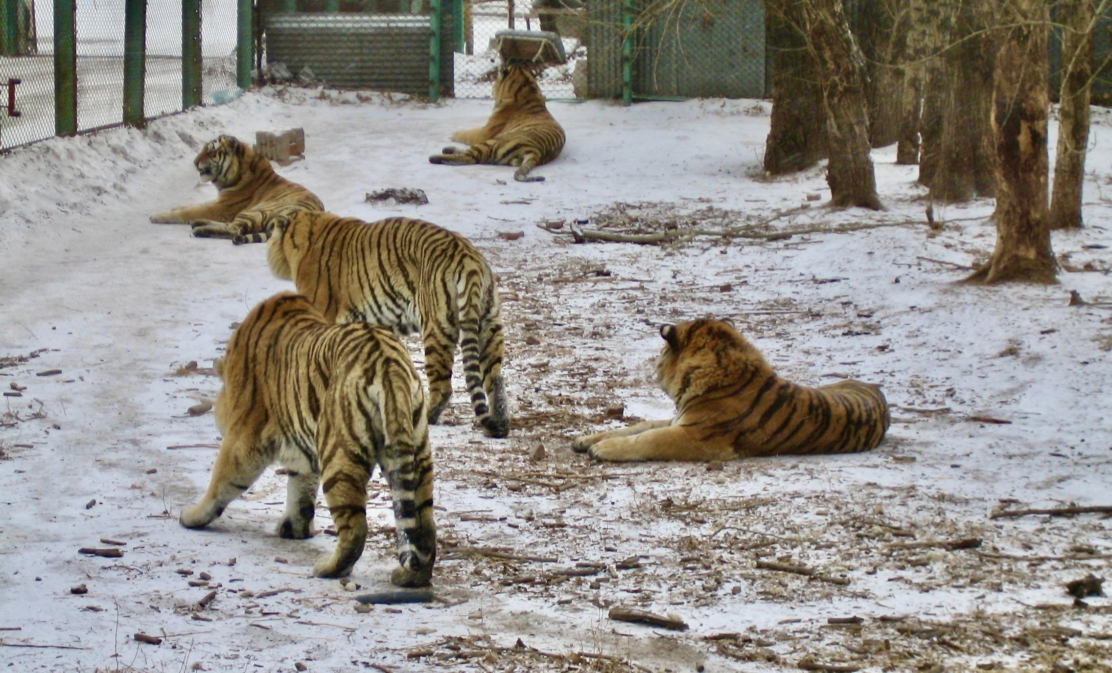 Här utanför Harbin är det inte en tiger i tanken som gäller utan många.