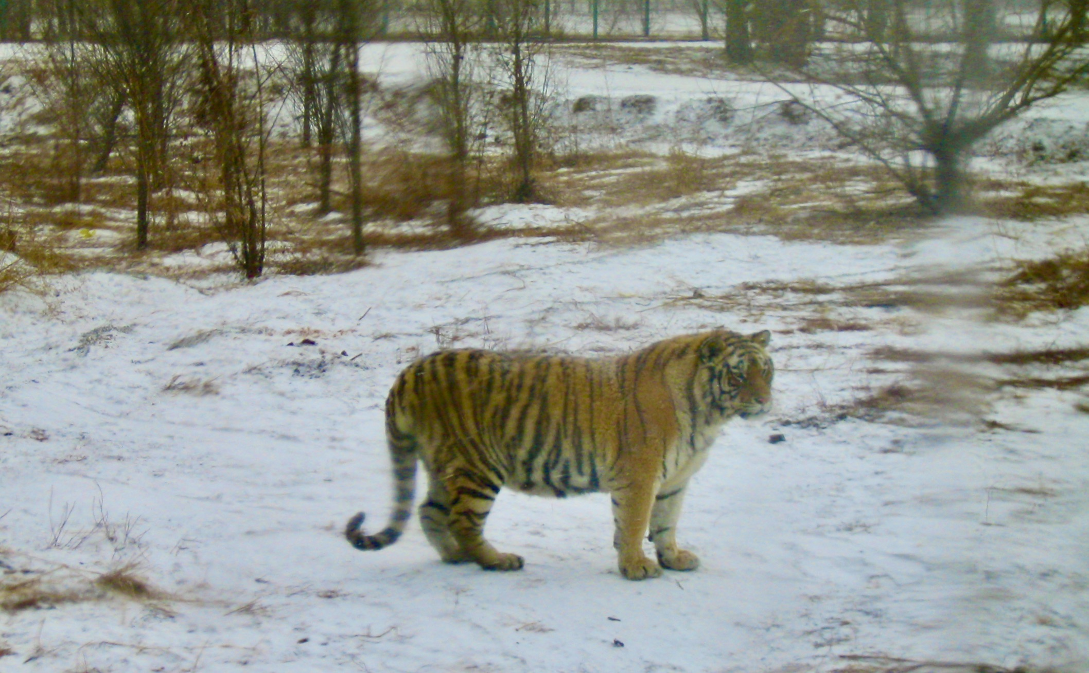 En sibirisk tiger som vi mötte i tigerparke strax utanför Harbin i norra Kina.