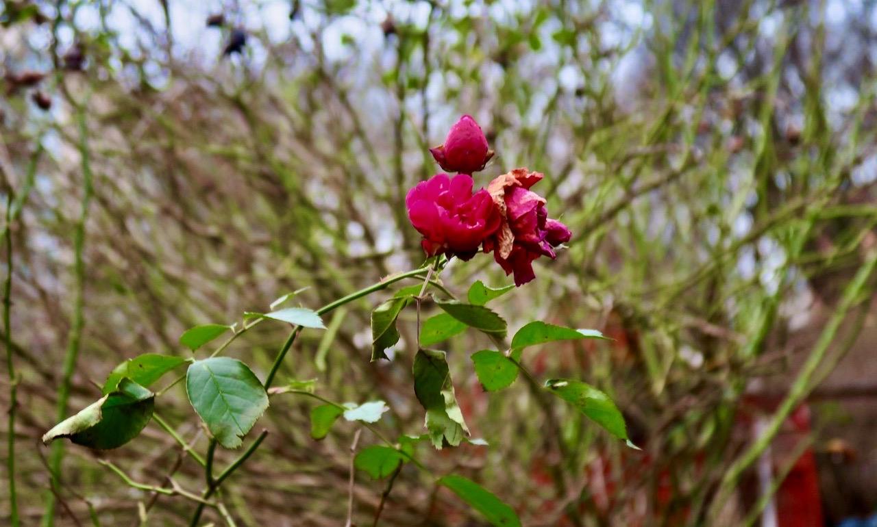 Den övervintrande rosen är inget direkt vårteckan men vacker är den.