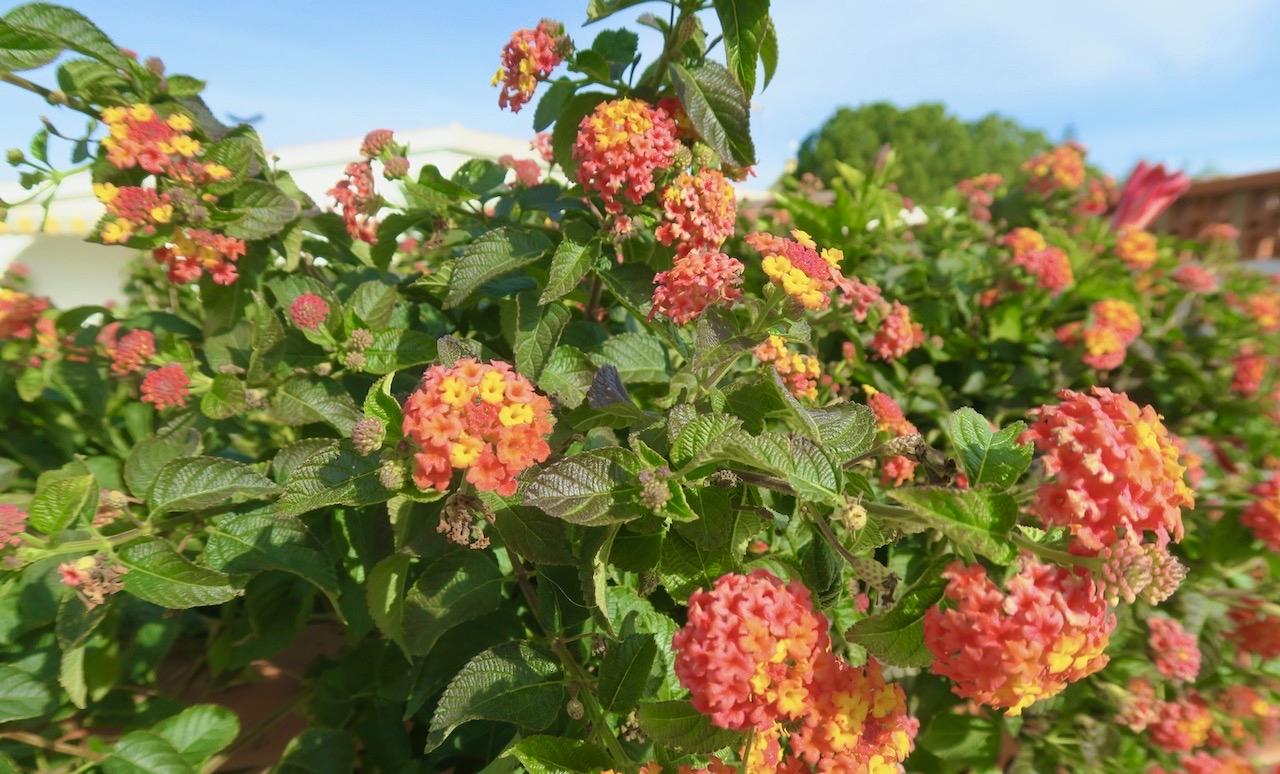 Vackra blommor i trädgårdarna gav en känsla av försommar i januari.
