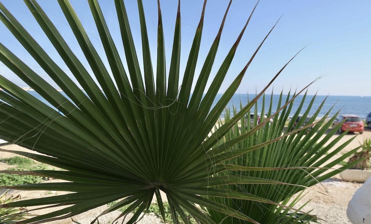 Några blad från en fläkt palm. Här vid en av stränderna i Torrevieja.