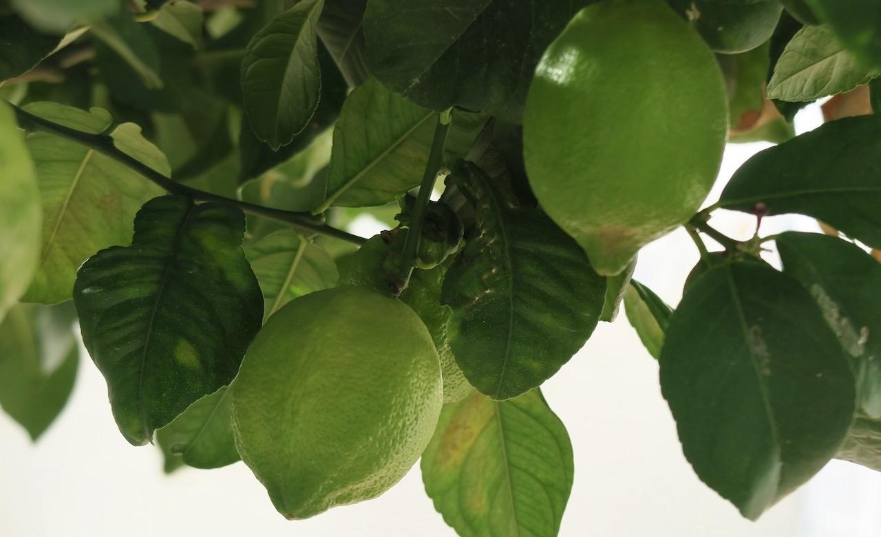 Citronträdet har gott om både blad och frukter.