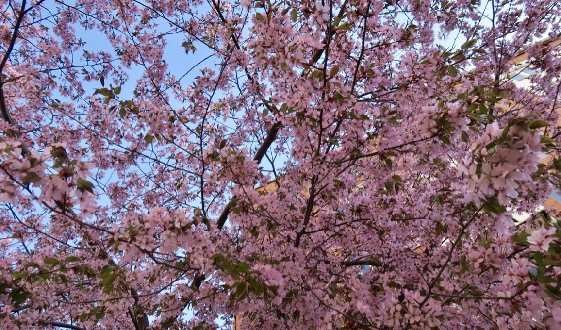 En händlse bland andra händelser. Körsbärsträd i blom. Så vackert.
