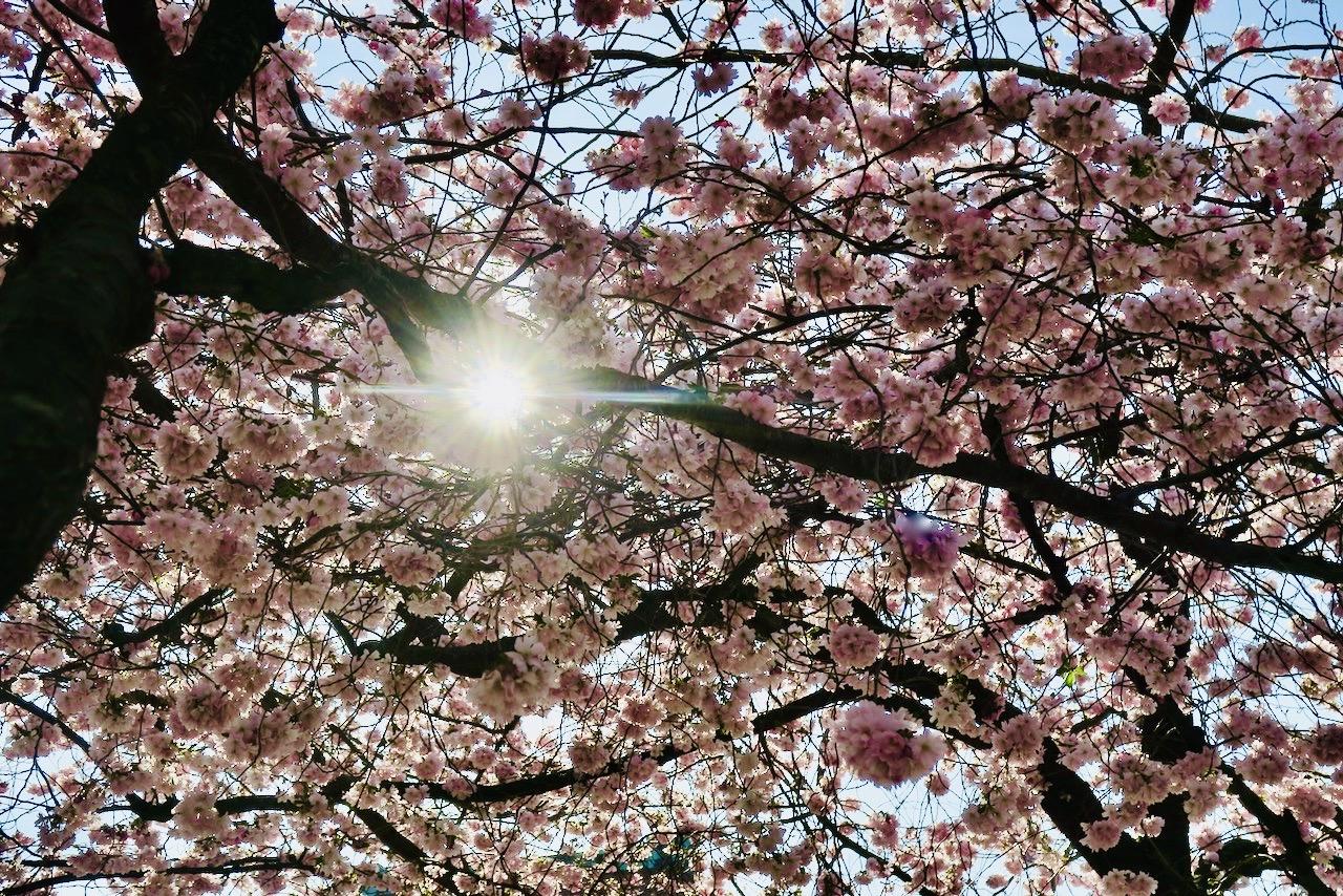 Kungsträdgården och de vackra japanska körsbärträden var ett givet stopp på den vackra Stockholmspromenaden