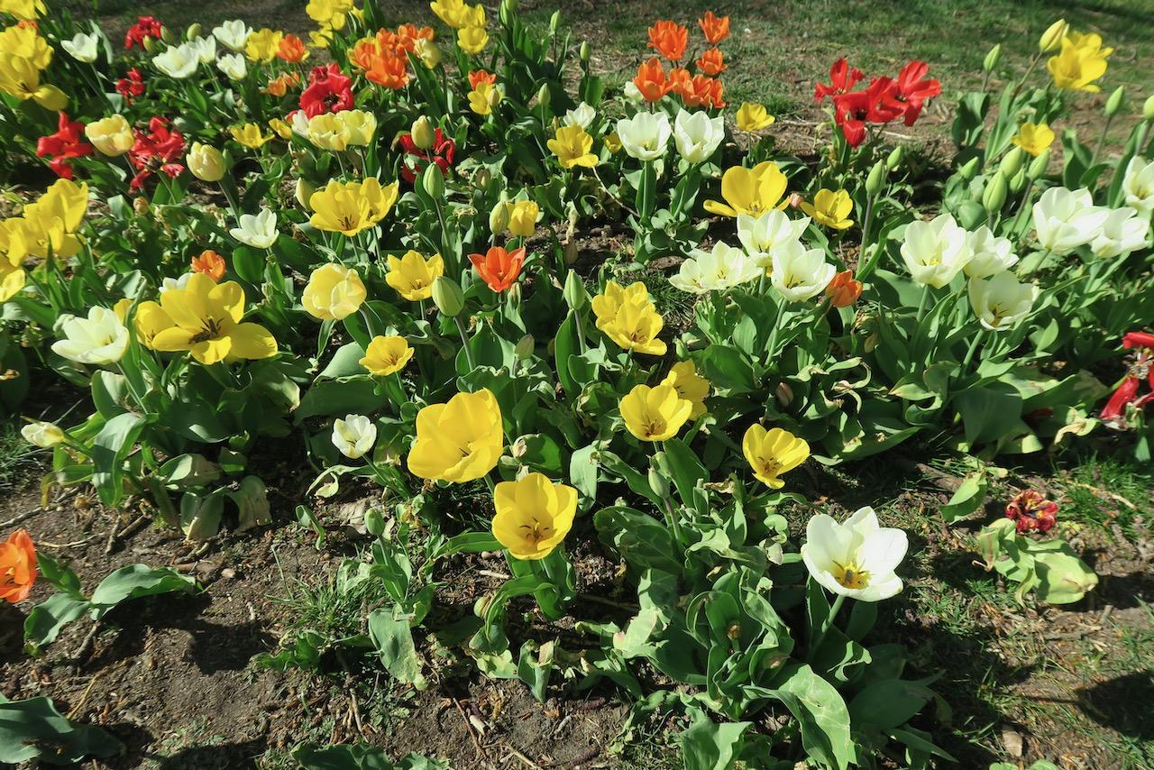 Tulpaner i grupp är vackert.