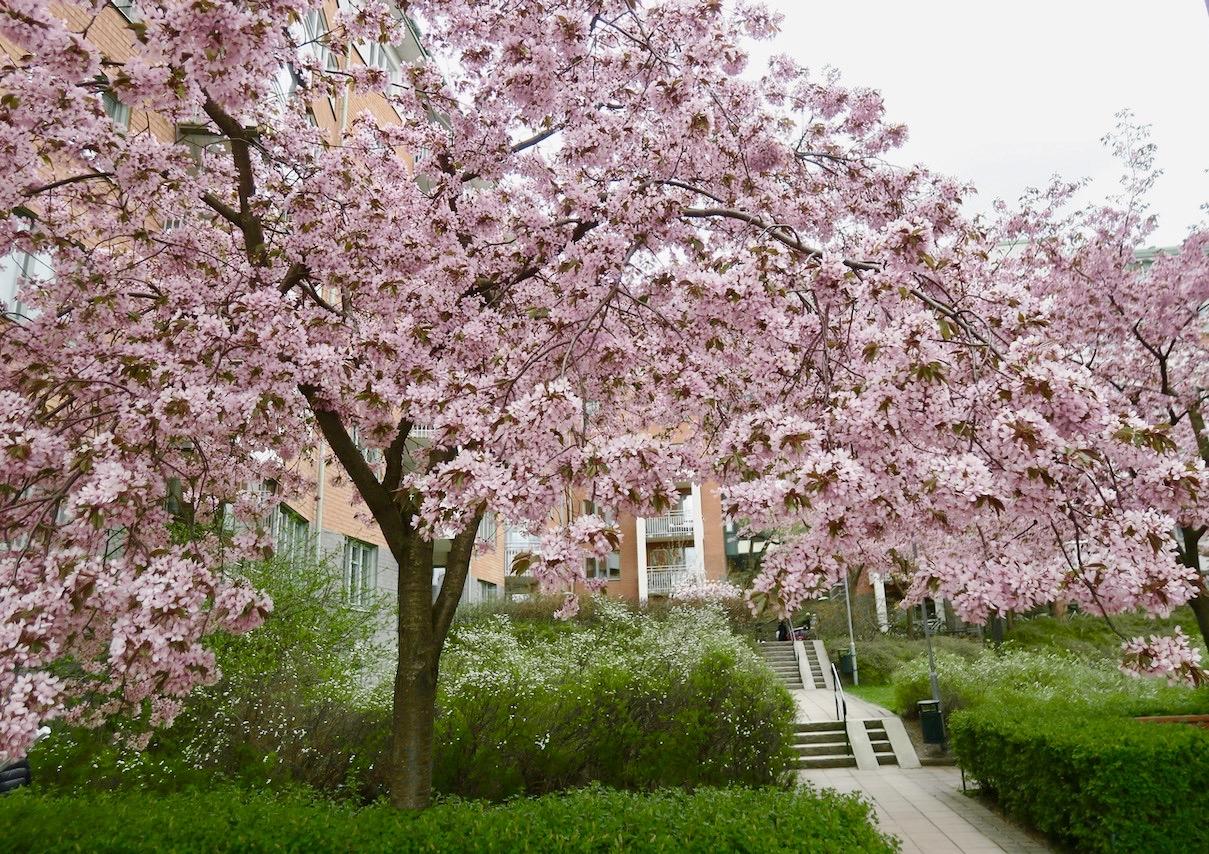 Vår vackert grönskande innergård men ljuvliga körsbärsträd i blom.