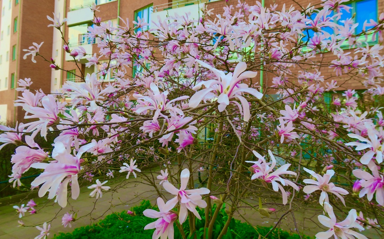Magnolian är snart överblommade men vackert är det så bänge den har sina blommor kvar.