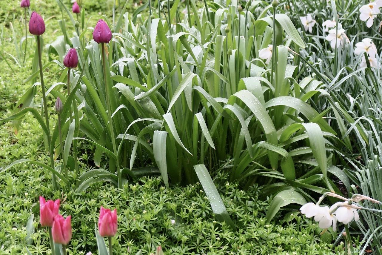 Vackert här också. De låga vitsipporna, de blommande narcisserna och tulpaner på väg att slå ut.
