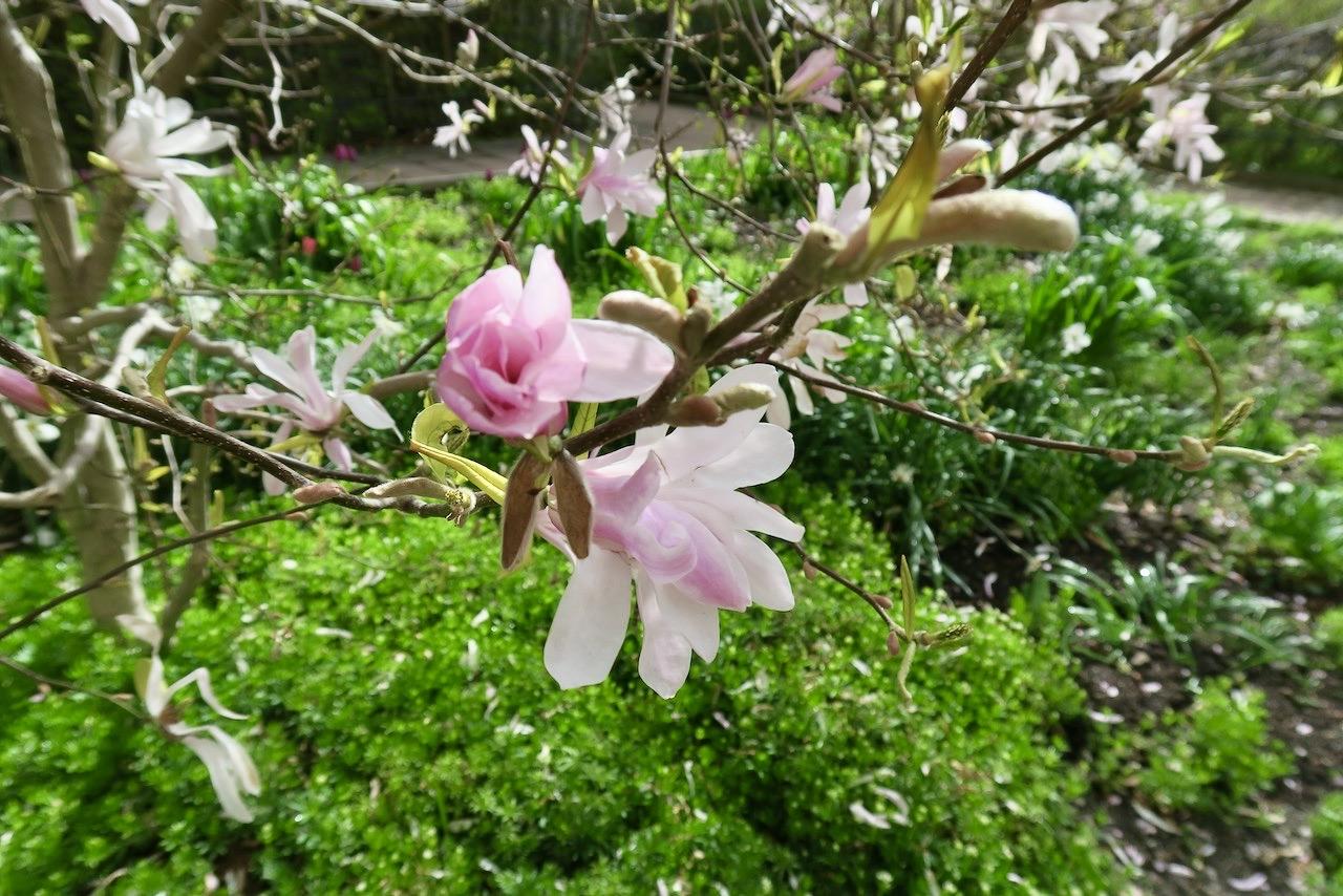 Magnolian har snart blommat klart men jag har haft nöjet att njuta av dem under nästan hela april månad.
