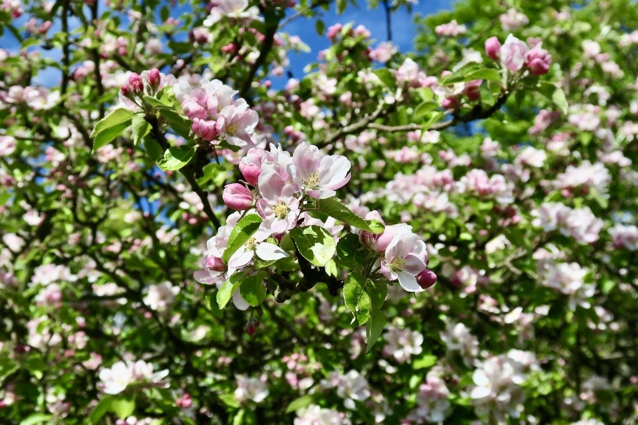 Många träd längs Årsyaviken är i blomning just nu.