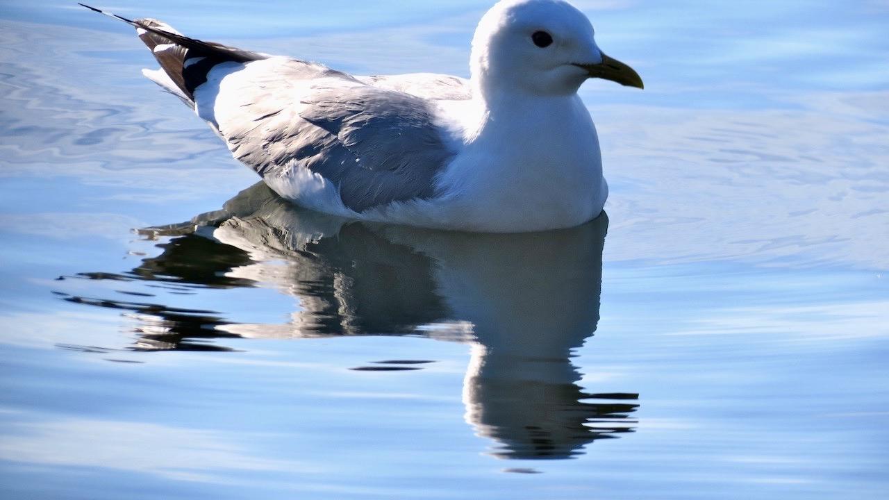 En ung mås simmar förbi och vattnet bär den så fint.