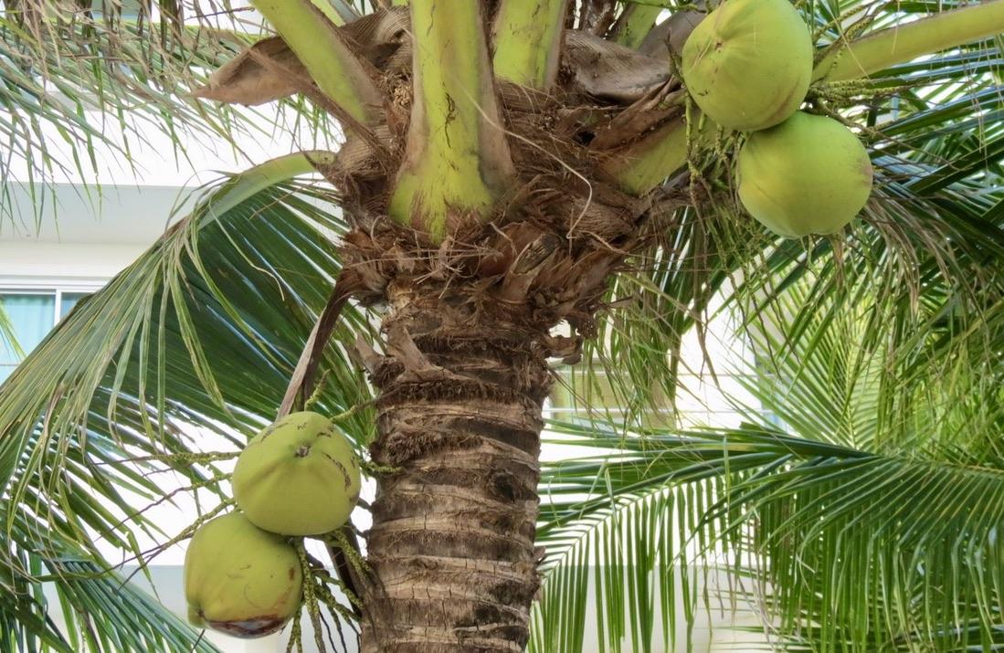 En hår nöt att knäcka. Men kokosnöten är inte en nöt utan precis som valnöten en frukt.